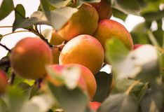 关闭在分支的成熟杏子 免版税库存照片