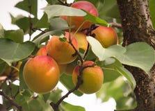 关闭在分支的成熟杏子 免版税库存图片