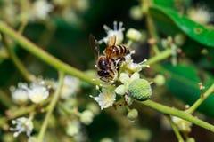 关闭在叶子和花的一只母无刺的蜂蜜蜂 免版税库存照片