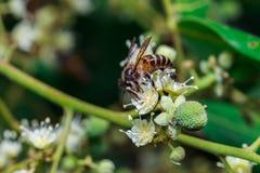 关闭在叶子和花的一只母无刺的蜂蜜蜂 免版税图库摄影