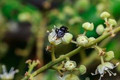 关闭在叶子和花的一只母无刺的蜂蜜蜂 库存照片