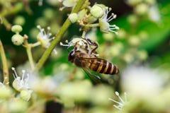 关闭在叶子和花的一只母无刺的蜂蜜蜂 库存图片