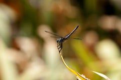 关闭在叶子的公蓝色Dasher漏杓蜻蜓 图库摄影