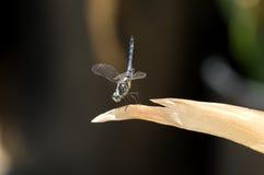 关闭在叶子的公蓝色Dasher漏杓蜻蜓 免版税库存图片