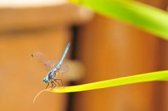 关闭在叶子的公蓝色Dasher漏杓蜻蜓 免版税库存照片