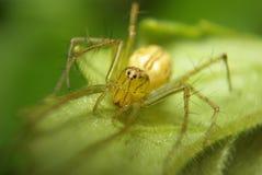 关闭在叶子的蜘蛛 库存图片
