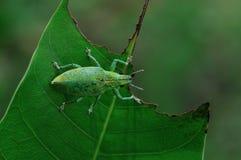 关闭在叶子的绿色象鼻虫 免版税库存照片
