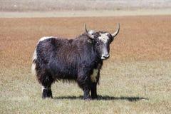 关闭在喜马拉雅山山的狂放的牦牛,尼泊尔 免版税库存图片