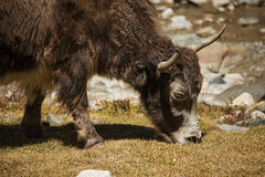 关闭在喜马拉雅山山的狂放的牦牛 在河村庄附近的喜马拉雅印度ladakh 库存图片