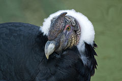 关闭在地面上的一个安第斯秃鹰 图库摄影