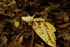 关闭在地面上的一只大飞蛾 库存照片