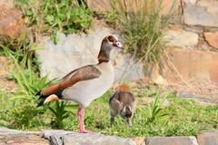 关闭在埃及鹅Alopochen aegyptiaca的看法与一只小鸡 免版税库存图片
