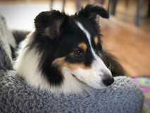 关闭在基于扶手椅子的逗人喜爱的舍德兰群岛护羊狗 免版税库存图片