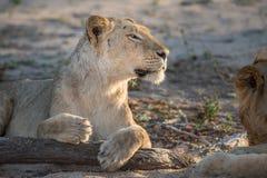 关闭在外形的一个雌狮` s头 免版税库存照片