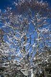 关闭在多雪的被盖的裸体树在蓝天的朱利安阿尔卑斯在冬天季节 库存图片