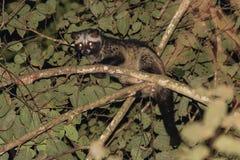 关闭在夜间的共同的椰子猫 免版税图库摄影