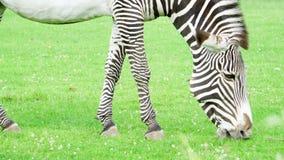 关闭在大草原的非洲斑马 吃绿草的斑马在国家公园 户外狂放的生活 影视素材