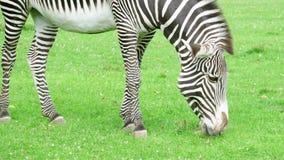 关闭在大草原的非洲斑马 吃绿草的斑马在国家公园 户外狂放的生活 股票录像