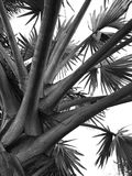 关闭在天空背景的一棵棕榈树 库存照片