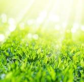 关闭在太阳光芒的领域草 免版税图库摄影