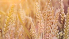 关闭在太阳的干燥成熟金黄麦子耳朵飘动 免版税库存照片