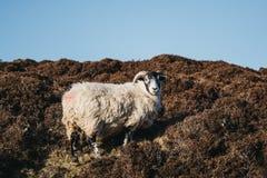 关闭在小山的一只绵羊在斯凯岛,苏格兰小岛  库存照片
