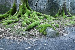 关闭在山毛榉树生苔根在冬天森林里 图库摄影