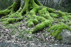 关闭在山毛榉树生苔根在冬天森林里 库存图片