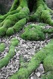 关闭在山毛榉树生苔根在冬天森林里 免版税库存照片