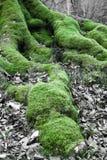 关闭在山毛榉树生苔根在冬天森林里 免版税库存图片