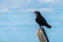 关闭在岗位栖息的一唯一掠夺乌鸦座corax 图库摄影