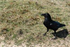 关闭在岗位栖息的一唯一掠夺乌鸦座corax 库存照片