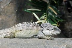 关闭在岩石的一只蜥蜴 免版税库存图片