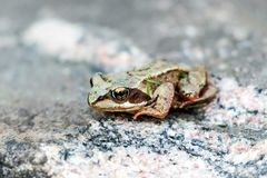 关闭在岩石的一只青蛙 库存图片