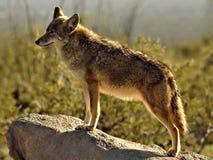 关闭在岩石的土狼 免版税库存图片