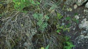 关闭在岩石的罕见的植被 影视素材