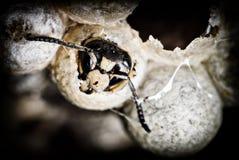 关闭在巢的一个赤裸裸的大黄蜂 库存图片