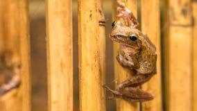 关闭在干燥竹棍子的美丽的青蛙 前面短的透视 酸值陶・泰国 库存照片