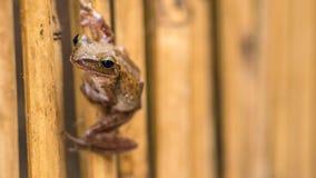 关闭在干燥竹棍子的美丽的青蛙 前面短的透视 酸值陶・泰国 免版税库存照片