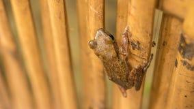 关闭在干燥竹棍子的美丽的青蛙 顶面短的透视 酸值陶・泰国 库存照片
