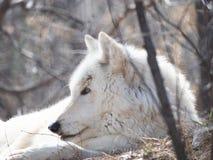 关闭在干草的一只灰狼的头 免版税库存图片
