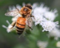 关闭在平顶的白色翠菊的蜂蜜蜂 免版税图库摄影