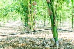关闭在庭院里种植的绿色竹子,竹光BEECHEYANA M 库存图片