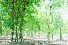 关闭在庭院里种植的绿色竹子,竹光BEECHEYANA M 免版税库存图片