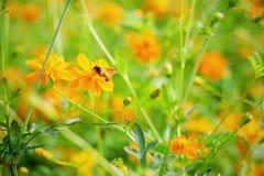 关闭在开花有被弄脏的背景的黄色波斯菊的蜂 免版税图库摄影