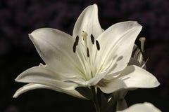 关闭在开花的白Lilly 免版税库存图片