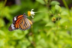 关闭在戴西的共同的老虎蝴蝶 库存图片