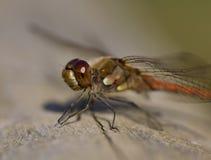 关闭在日志的一只蜻蜓 库存照片