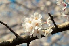 关闭在日本的春季的白色樱花 库存照片