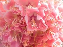 关闭在日落的五颜六色的八仙花属在庭院里 免版税库存照片